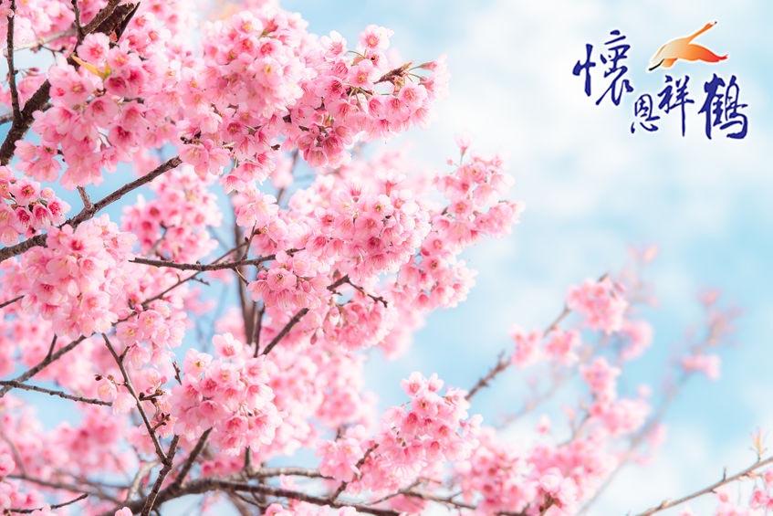《新聞分享》10年未見櫻花滿開!九族文化村櫻花最佳賞櫻期